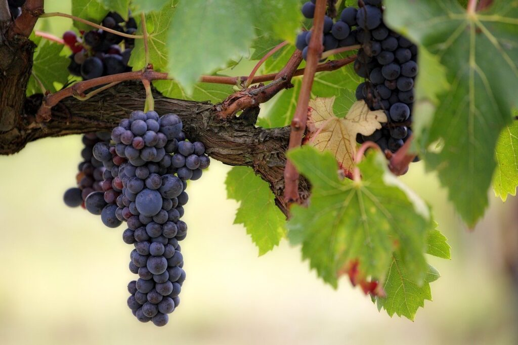 fruit, grape, vines
