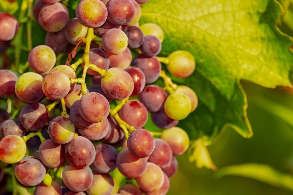 grapes, grape, vine